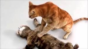 Cat Performing CPR on Cat Stuffed Anilmal